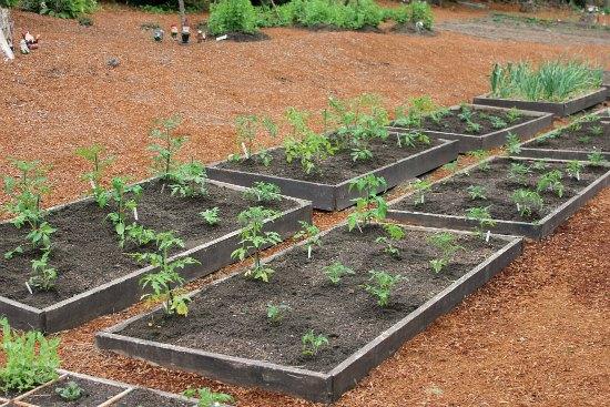 organic tomatoes raised garden beds