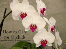 How to Care for Orchids - One Hundred Dollars a Month