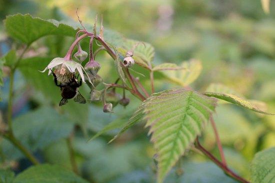 bee on raspberry