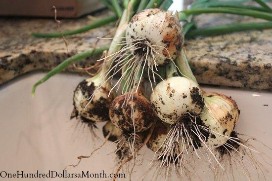 fresh onions