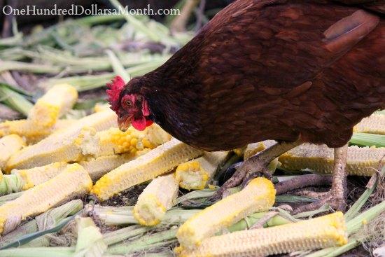 Rhode island red chicken eating corn