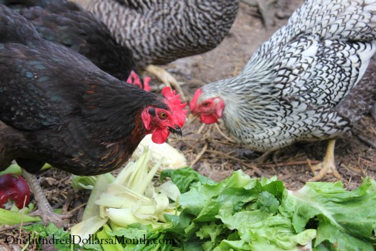 food waste chickens