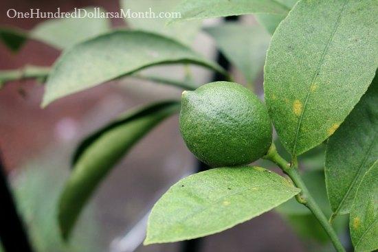 lemon tree in winter