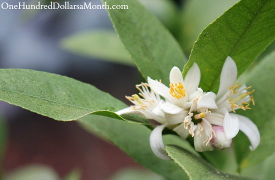 meyer lemon tree bugs