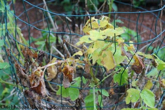 potato leaves