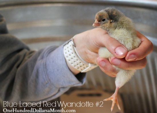 Blue Laced Red Wyandotte baby chicken