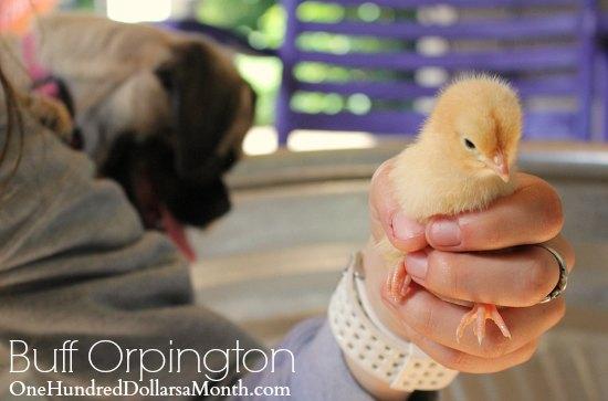 Buff Orpington chick