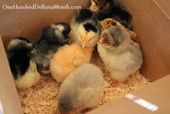 baby chicks in a box