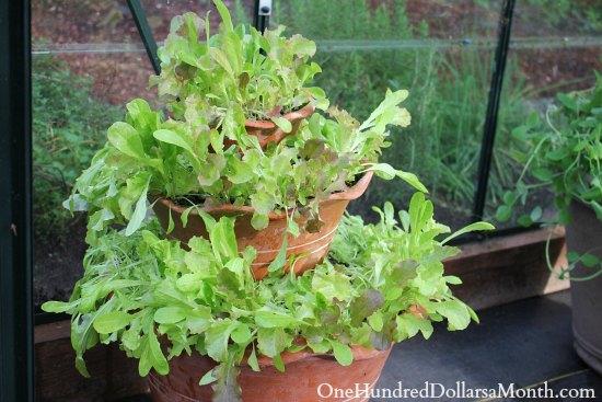 growing lettuce in a greenhosue