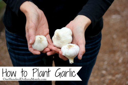 how-to-plant-garlic-bulbs-in-fall