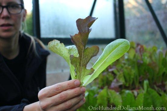 Lettuce Mesclun Farmer's Market Blend Seeds
