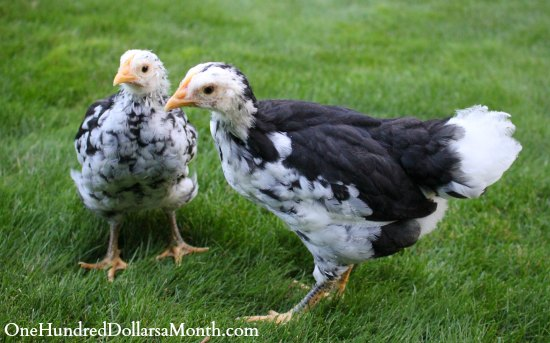 Mottled Java chicken chicks