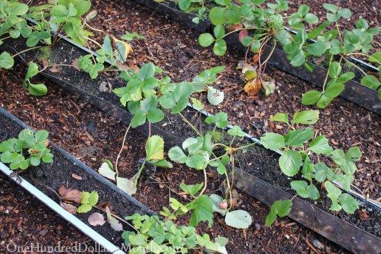 growing strawberries in gutters