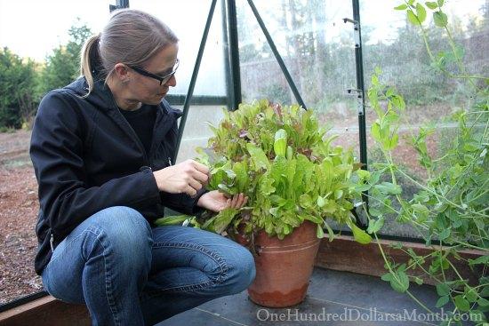 mesclun lettuce mavis butterfield