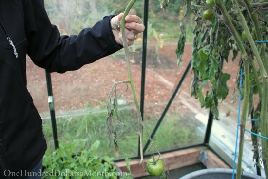 tomatoes grey mold stems