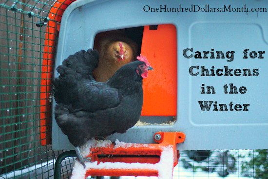 Caring for Your Chickens in the Winter