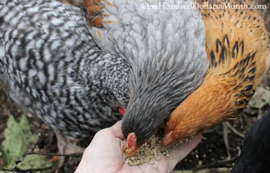 feeding chickens chicken scratch