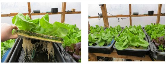 how to grow floating lettuce