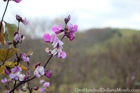 purple bean flowers