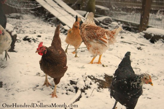 chickens snow winter