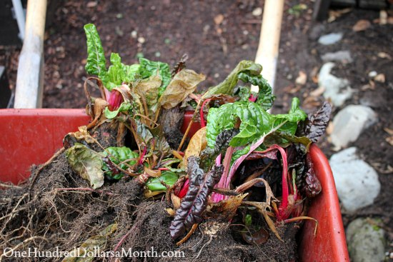 swiss chard in wheelbarrow