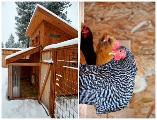 chicken coop in winter