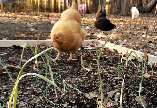 chicken garlic shoots