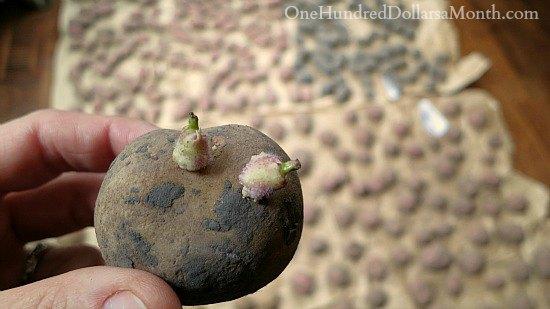 seed-potato-chitting