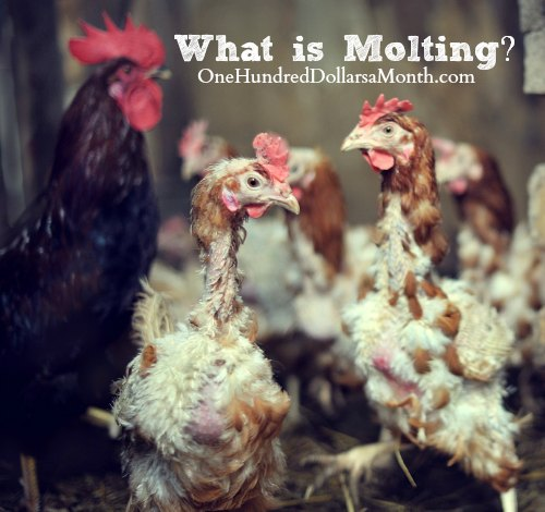 Chickens - What is Molting
