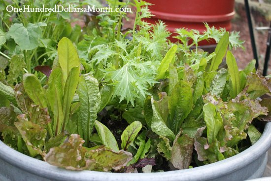 organically grown lettuce containers