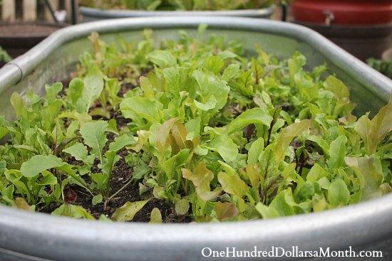 winter lettuce container