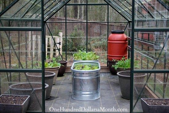 winter lettuce in a greenhouse