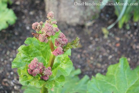 flowering rhubarb plant