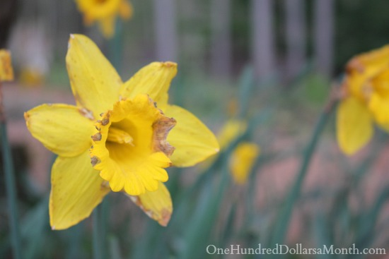 spent daffodil