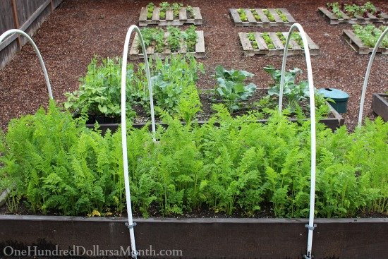 growing carrots in a raised garden beds