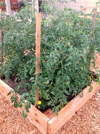 huge tomato plants in garden boxes