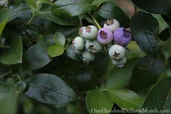 blueberries ripening