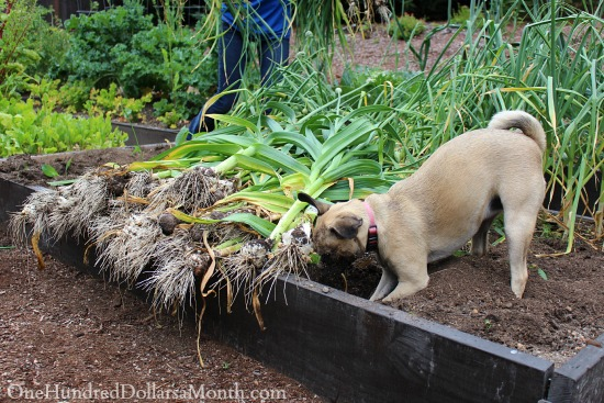 harvesting garlic lucy the puggle dog