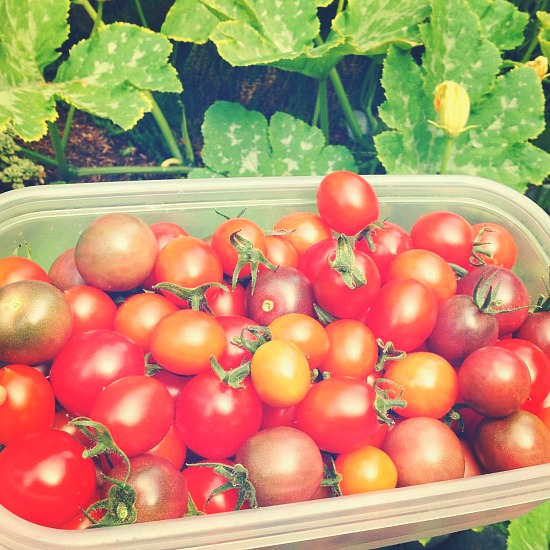 tomato pictures mavis mail