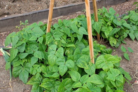 growing green beans on a trellis