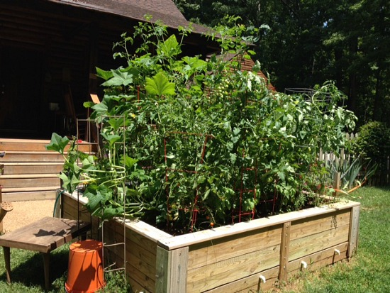 growing squash in a raised garden bed