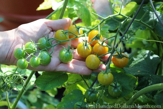 growing sungold tomatoes