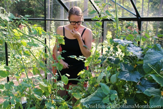 mavis garden blog greenhouse tomatoes