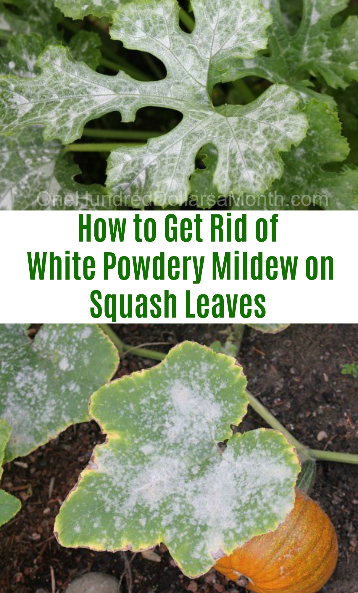 How to Get Rid of White Powdery Mildew on Squash Leaves - One