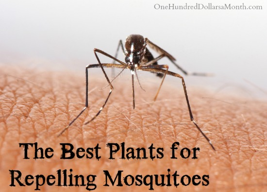 The Best Plants for Repelling Mosquitoes