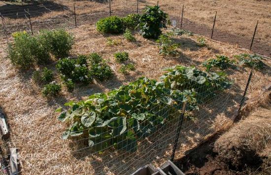 mulching squash plants