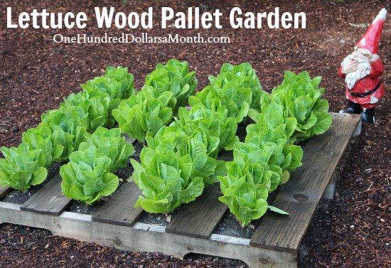 recycled-wood-pallet-gardens-lettuce