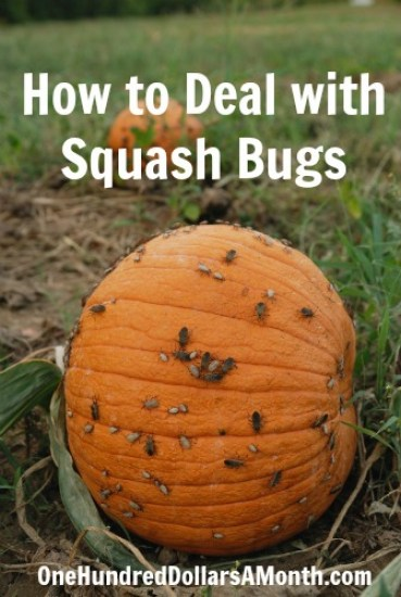 How-to-Deal-with-Squash-Bugs