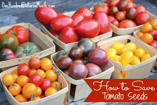 How-to-Save-Tomato-Seeds4