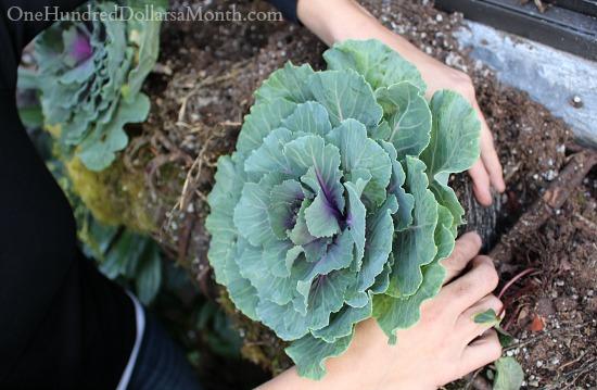 planting ornamental cabbage